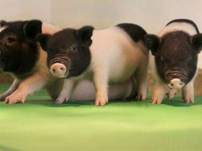 Los órganos de cerdo podrían al fin trasplantarse en humanos