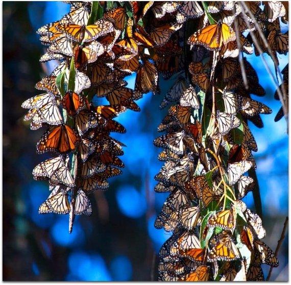 Imagenes de mariposas monarca