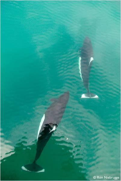 Imágenes mundo marino: orcas en el mar
