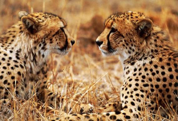 Imagenes de felinos: Chitas - guepardos