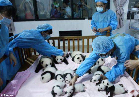 imagenes de osos pandas bebes en guarderia