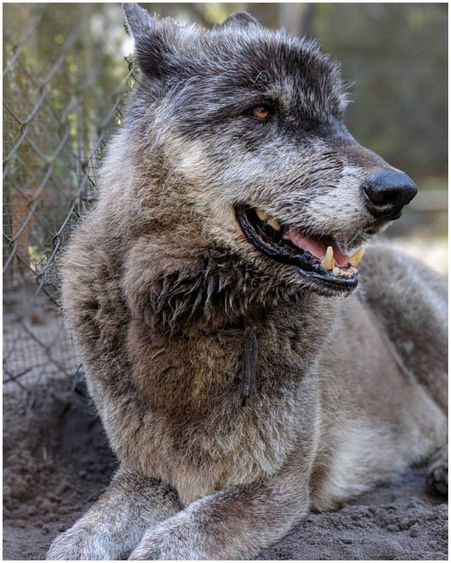 الكلب العملاق يثير ضجة كبيرة بعد اكتشاف فصيلته