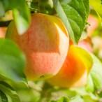 Köstliche Früchte