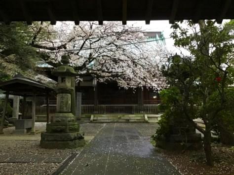 全然関係ないけど、近所のお寺さんの桜など。せっかく桜の季節の記事なので、文脈とは全く関係ないけどあげておきます。