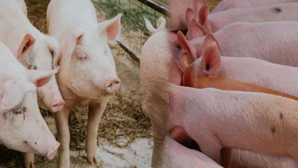 pig farming business proposal
