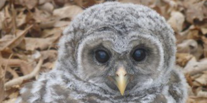 Baby Owl Featured Pic