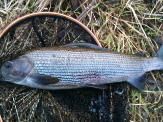 46cm-Grayling-29Jan2011
