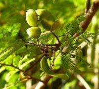 Peulen van de Dividiviboom
