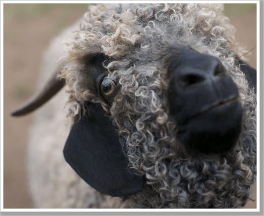 AT Goat 1 web
