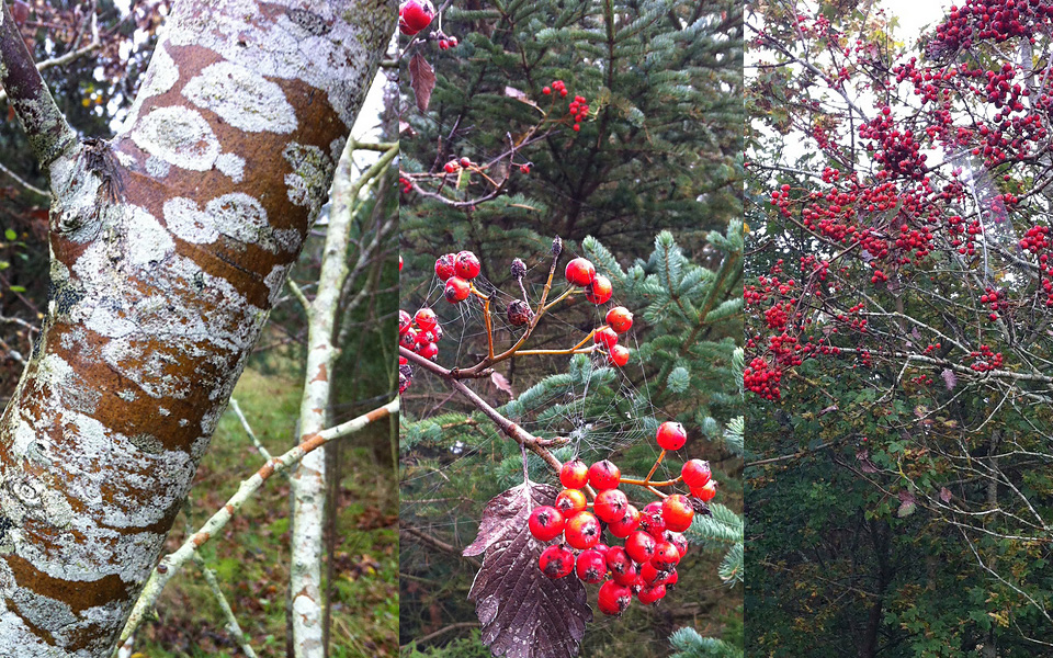 Rowan tree - Røn in Danish - with distinctive bark, leaves, berries - inspiration for BirtheP's stranded colourwork swatch