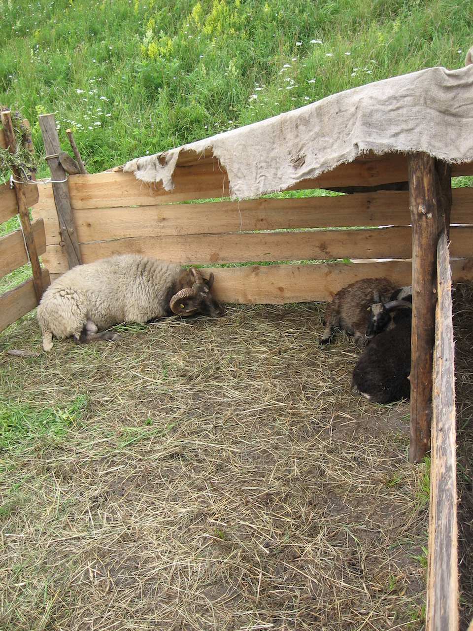 Lithuanian Coarse Wool Sheep IMG_1437