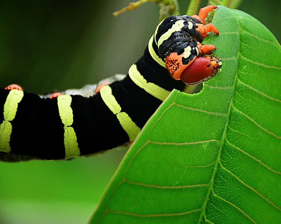 Frangipani caterpillar, photographed by Fergus Ford in Barbados