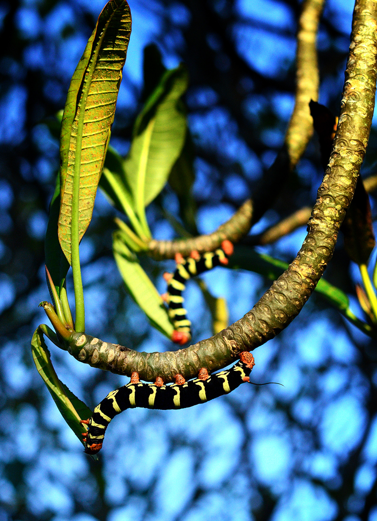 Frangipani Caterpillars photographed by Fergus Ford and used as inspiration for the #knitsonikcaterpillars swatch-a-long