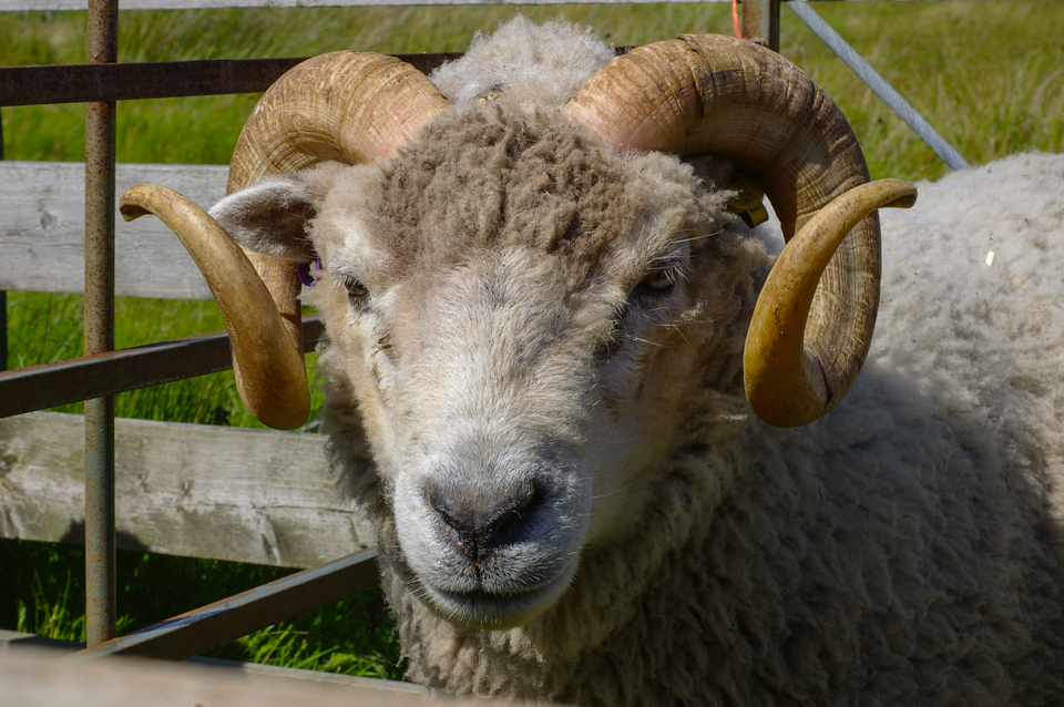 A Shetland ram photographed at the Voe Show, August 2013