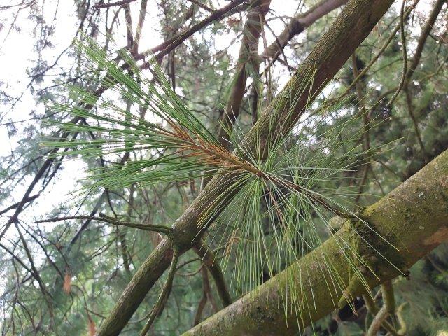 Himalayan White Pine needles