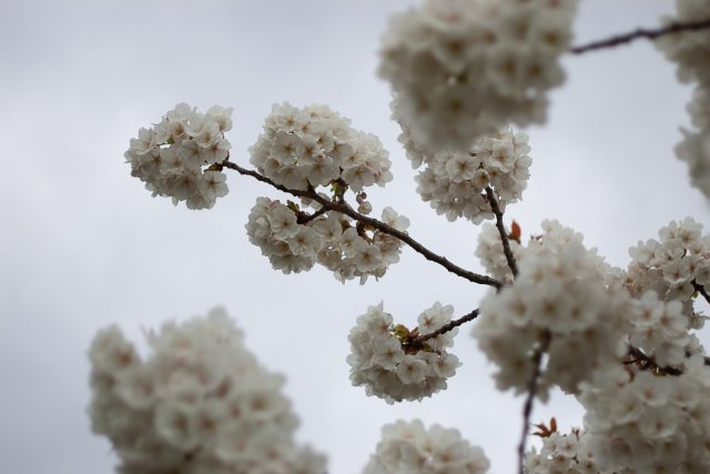 big white pompoms of cherry blossoms bouncing against a greyish sky