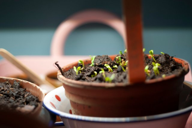 A little pot of sprouting Fenugreek seedlings