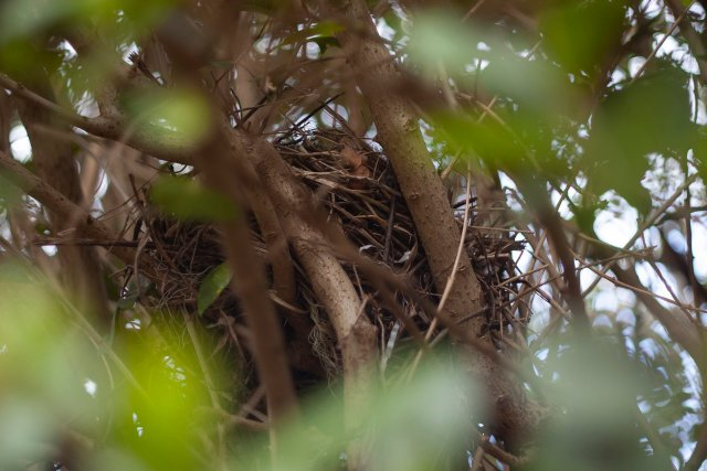 a scruffy, broad nest wedged deep into the clefts of the branches in our hedge
