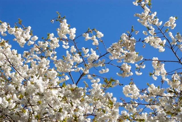 a profusion of white cherry tree blossoms against a turbo deep blue sky