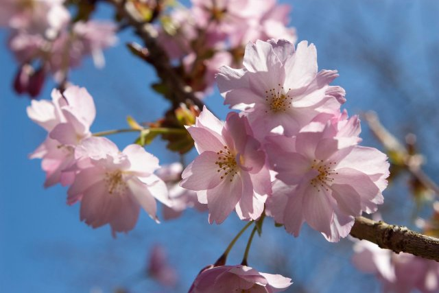 closeup of pink cherry blossoms