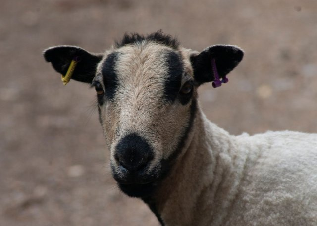 A winsome sheep peeps out through dark lashes; it has a short, recently-shorn biscuity-coloured fleece, and strong dark badger markings around its eyebrows and jaw; its nose and ears are also black, and this sheep is mostly likely a Welsh Badgerface Torddu sheep.