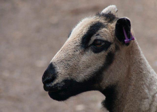 closeup side profile of Badger Face Welsh Mountain sheep, Torddu type.