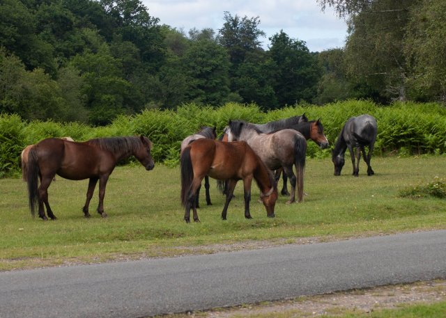 A gorgeous group of New Forest ponies, in various shades of brown and dappled grey, black and dun and tan.