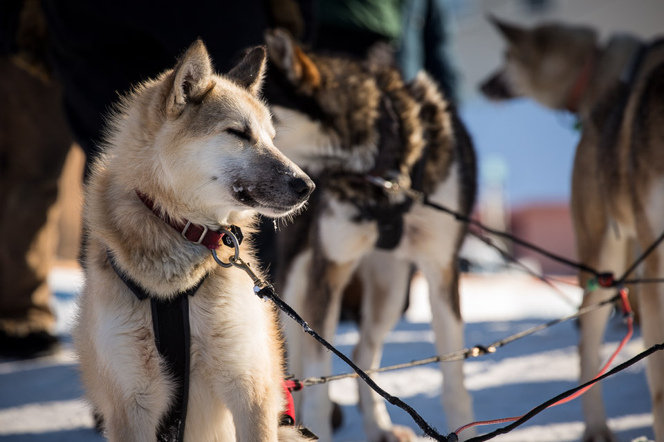 Sled dogs stand at rest on a snowy street.