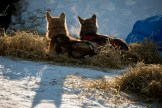 Richie Diehl sled dogs, Ruby