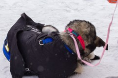 One of Martins dogs, with a nicely personalized collar, relaxes at the finish.