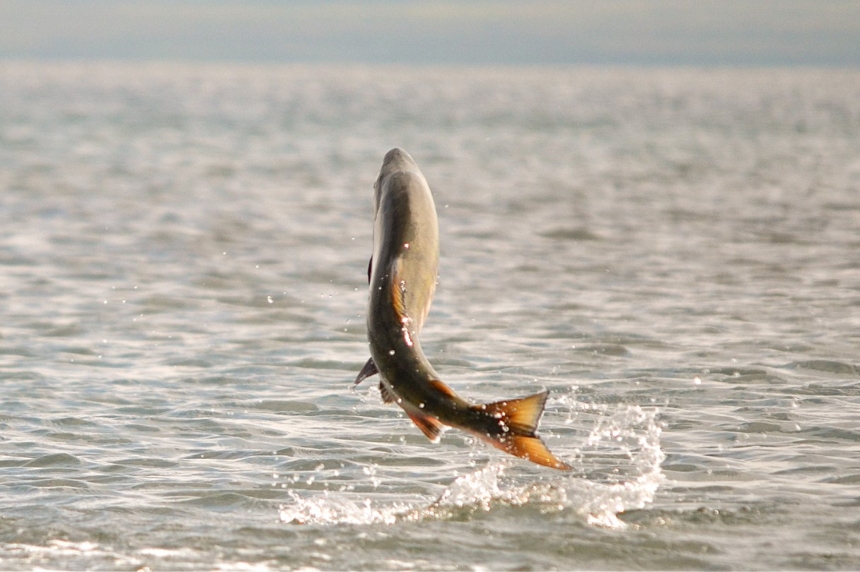 Chum salmon leaping near Cold Bay, AK. Photo: K. Mueller, U.S. Fish and Wildlife Service.