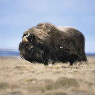 A bull muskox. Photo: Tim Bowman, U.S. Fish and Wildlife Service.