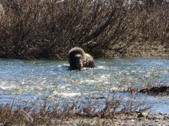 A muskox swimming off the Council road. (Photo: Maddie Winchester, KNOM)