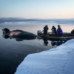 At the icy coastline near Savoonga, Alaska, villagers bring in a whale catch.