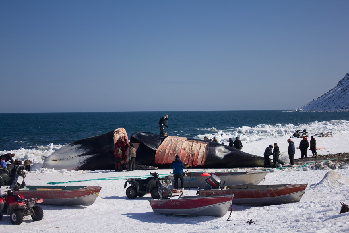 Chris Apassingok was the striker who landed this 200 year old female bowhead whale for his family and community. Photo Credit: Karen Trop, KNOM (2017)