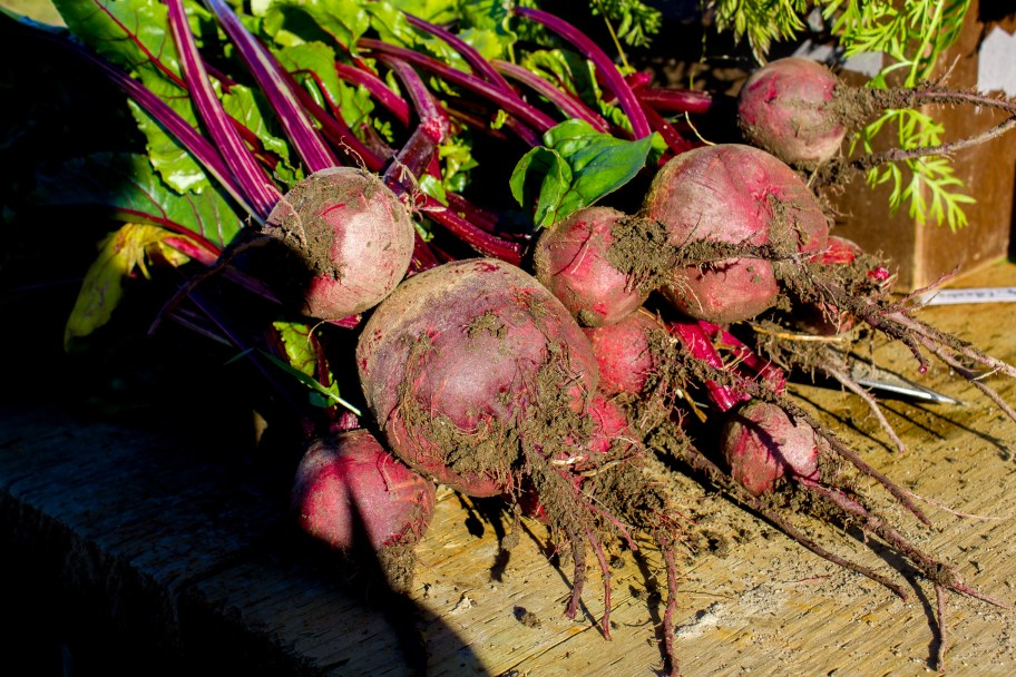 Freshly harvested beets from Pilgrim Produce, at the Pilgrim Hot Springs site.