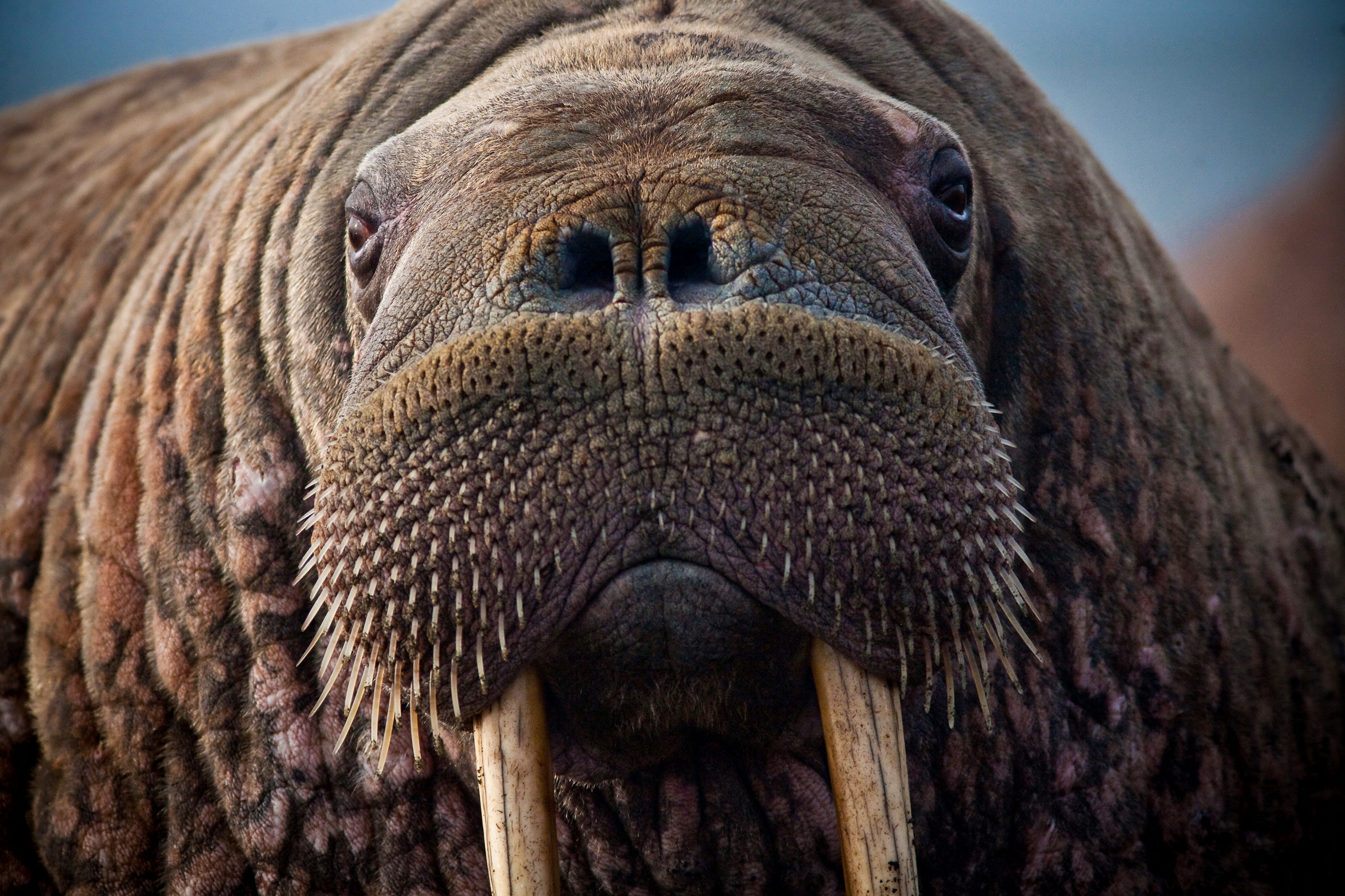 Close up of the face and tusks of a walrus.