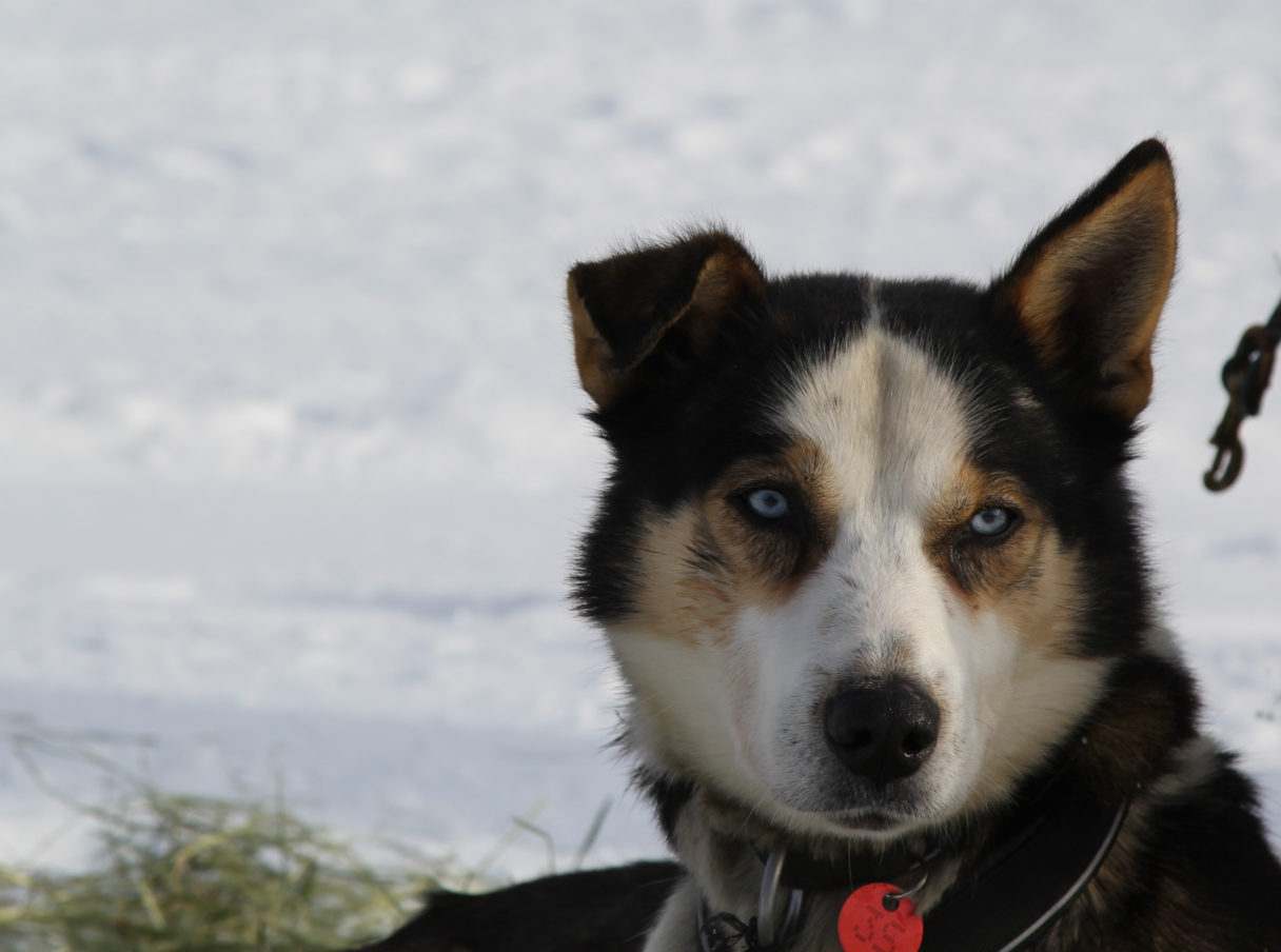 Close-up of sled dog against a snowy background