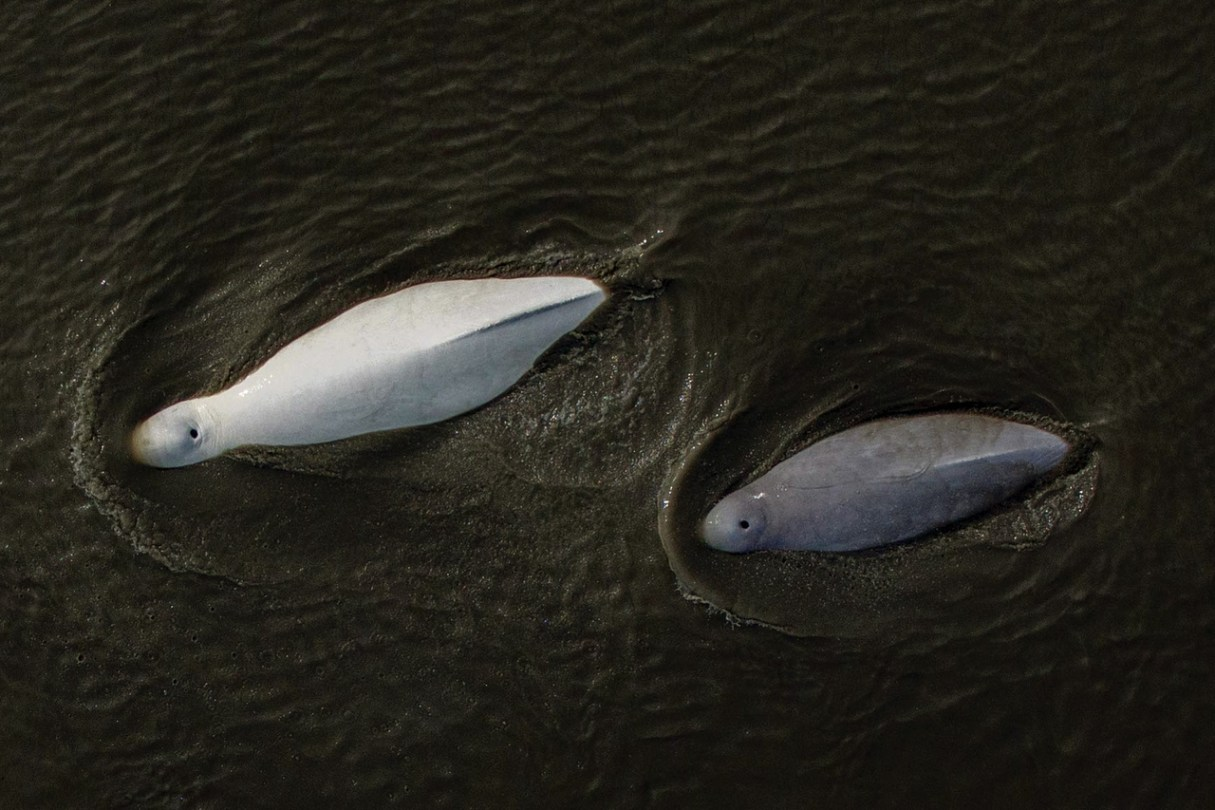 One white. one gray beluga swimming in water. Shot from aerial view.