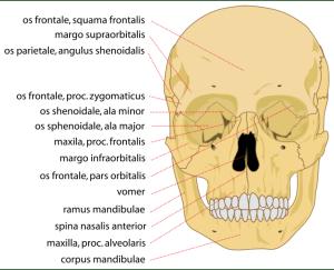 Skull details