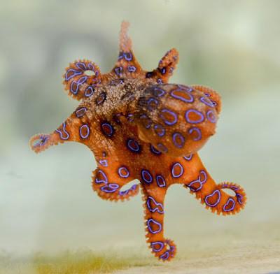 octopus in hindi