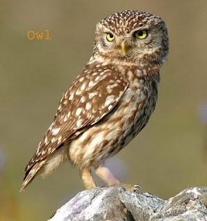 Owl In Hindi