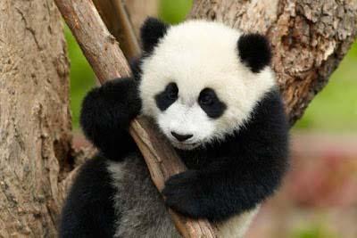 Information about panda in hindi