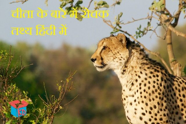 Information about cheetah in hindi