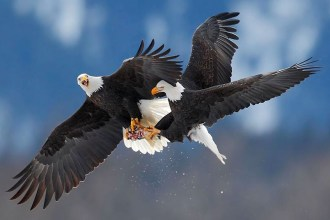 eagles-fighting_2430971k