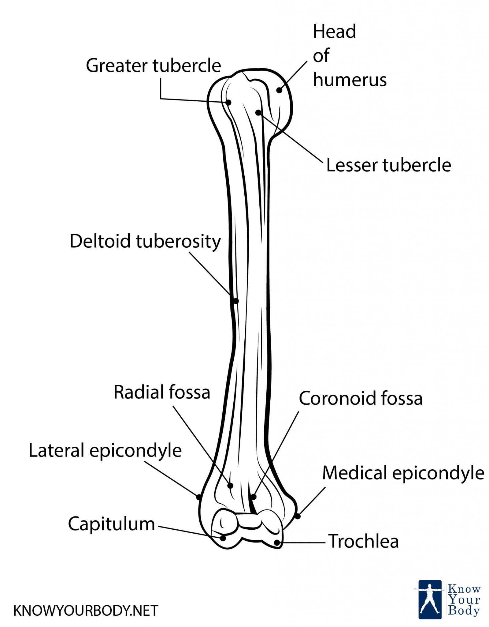 Humerus Diagram