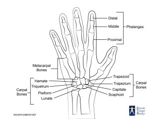 Hand Bones  Anatomy, Structure and Diagram