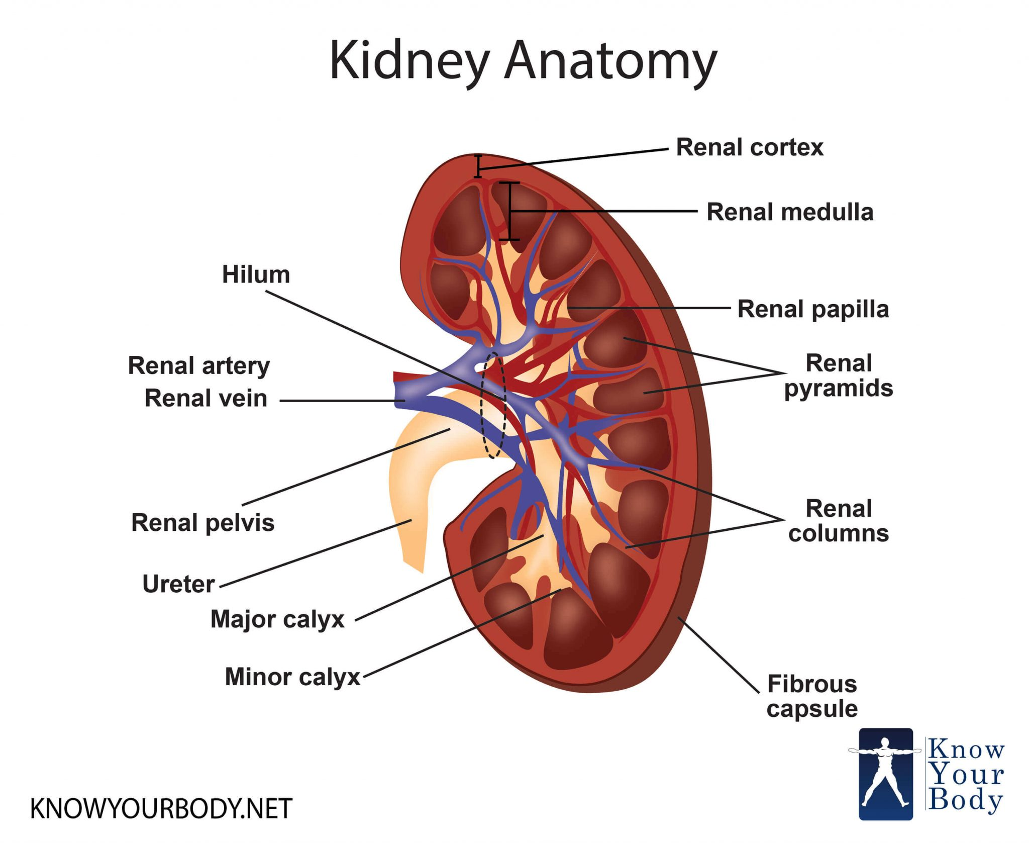 Where Are Your Kidneys Located In The Body