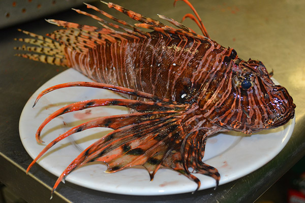 Face To Face With A Lionfish At Orange Beach
