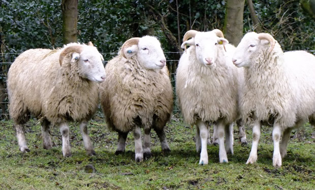 cropped_sheep